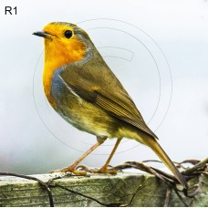 Premium Safety & Toughened Glass Coaster complete with 80mm x 80mm photo of a Robin