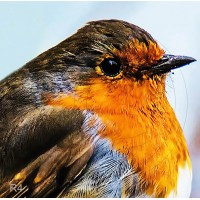 Premium Safety & Toughened Glass Coaster with 80mm x 80mm photo of a Robins Head